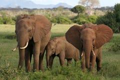 африканские слоны Стоковая Фотография