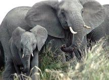 африканские слоны Стоковое Изображение RF