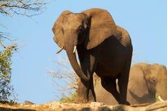 Африканские слоны Стоковые Изображения RF