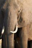 Африканские слоны Стоковые Изображения