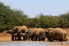 Африканские слоны Стоковые Фотографии RF