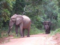 африканские слоны Стоковая Фотография RF