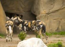 африканские собаки одичалые Стоковое фото RF