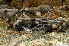 африканские собаки одичалые Стоковое Фото