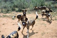 африканские собаки одичалые стоковая фотография rf