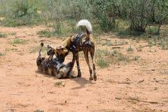 африканские собаки одичалые Стоковое Изображение RF