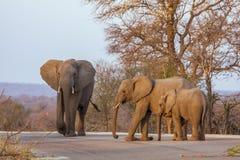 Африканские слоны куста идя на дорогу, в парке Kruger, Южная Африка Стоковое Изображение RF