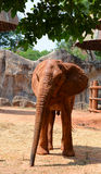 Африканские слоны на зоопарке Стоковая Фотография