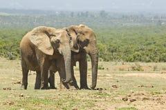 Африканские слоны на открытой саванне Стоковое Изображение RF