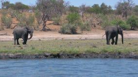 Африканские слоны на реке на солнечный день акции видеоматериалы