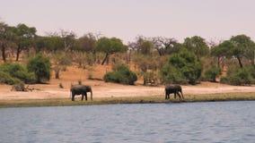 Африканские слоны на реке на солнечный день сток-видео