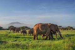 Африканские слоны с Килиманджаро стоковое изображение