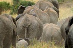 Африканские слоны стоковое фото rf