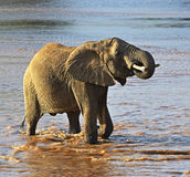 Африканские слоны Стоковое Фото