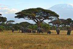 Африканские слоны стоковые фото