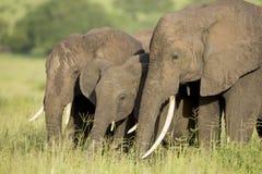 Африканские слоны (africana Loxodonta) в Танзания стоковые фотографии rf