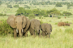 Африканские слоны (africana Loxodonta) в Танзания стоковые изображения rf