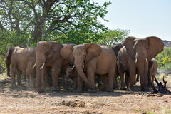 африканские слоны bush Стоковая Фотография