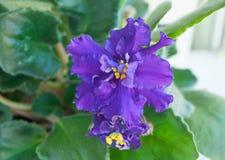 Африканские фиолеты в домашней установке Стоковые Изображения RF