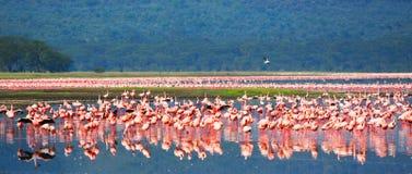 африканские фламингоы Стоковые Изображения RF