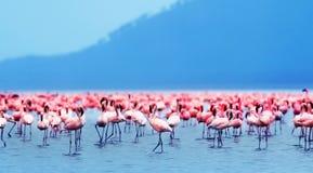 африканские фламингоы Стоковое Фото