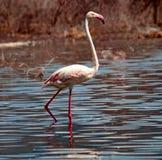 Африканские фламинго стоковое фото rf