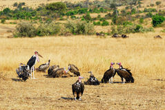 африканские хищники Стоковое фото RF