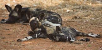 Африканские щенята дикой собаки лежа вниз Стоковые Изображения