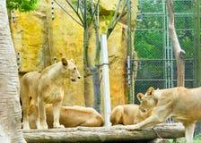 Африканские львы на парке дикого животного Шанхая Стоковое Изображение