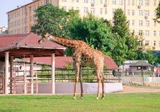 Африканские camelopardalis Giraffa жирафа в зоопарке Стоковые Изображения