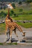 африканские giraffes Стоковое Фото