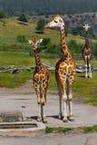 африканские giraffes Стоковое Изображение