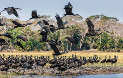 Африканские openbills стоковые фотографии rf