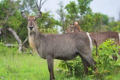 африканские waterbucks bush Стоковые Изображения RF