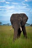Африканский ландшафт саванны, Танзания Африка Стоковая Фотография RF