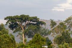 Африканский ландшафт с гигантским деревом Стоковые Фотографии RF