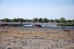 Африканский ландшафт с животными Стоковые Изображения