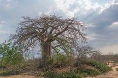 Африканский баобаб с драматическим небом anisette Стоковое Фото