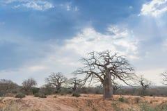 Африканский баобаб с драматическим небом anisette Стоковые Фото