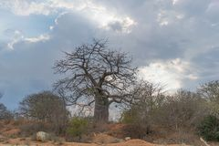 Африканский баобаб с драматическим небом anisette Стоковая Фотография RF
