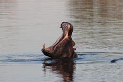 Африканский бегемот зевая стоковые изображения rf