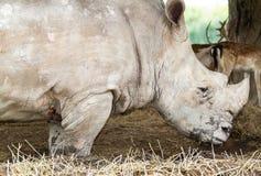 Африканский белый носорог стоковое фото rf