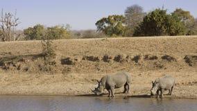 Африканский белый носорог, в парке Kruger, Южная Африка Стоковое фото RF