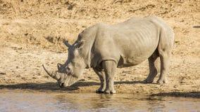 Африканский белый носорог, в парке Kruger, Южная Африка Стоковые Изображения RF