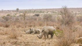 Африканский белый носорог, в парке Kruger Стоковое Изображение RF