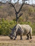 Африканский белый носорог, парк kruger Стоковые Изображения RF