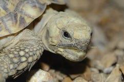 африканский блинчик tortoise2 Стоковая Фотография RF