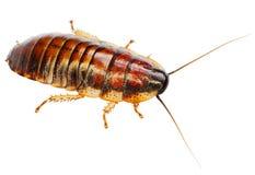 африканский большой таракан Стоковое Изображение RF