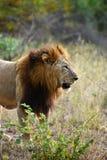 африканский большой мужчина льва Стоковые Фотографии RF