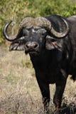 африканский буйвол Ботсваны Стоковая Фотография